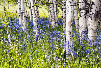 Photograph - Aspen Trees And Camas Lilies In Idaho by Vishwanath Bhat