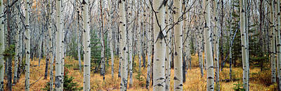 Urban Scenes Photograph - Aspen Trees In A Forest, Alberta, Canada by Panoramic Images