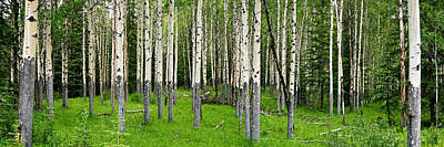 Aspen Trees In A Forest, Banff, Banff Art Print by Panoramic Images