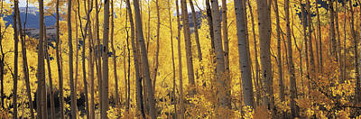 Autumn Scenes Photograph - Aspen Trees In Autumn, Colorado, Usa by Panoramic Images