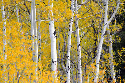 Photograph - Aspen Trees In Fall by Dan Friend
