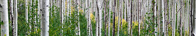 Tree Bark Photograph - Aspen Trees by Steve Gadomski