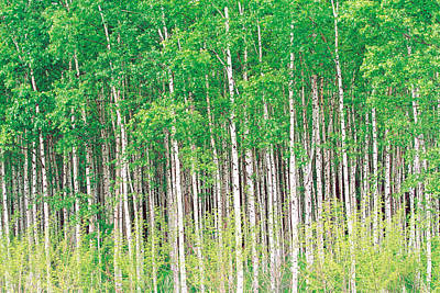 Aspen Trees, View From Below Art Print by Panoramic Images