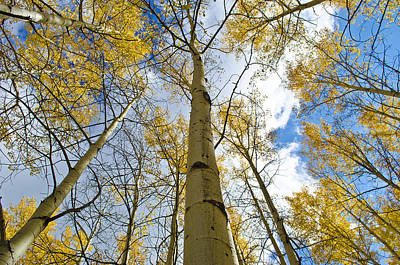 Aspen Tress To The Sky Art Print