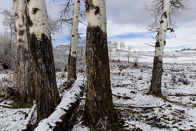 Photograph - Aspen Winter  by Jack Bell