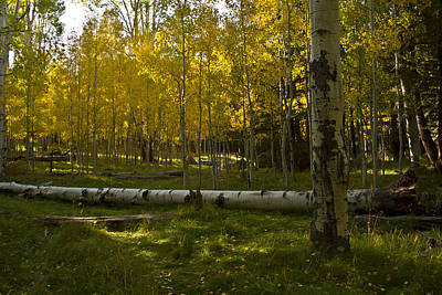 Art Print featuring the photograph Aspens 4619 by Tom Kelly