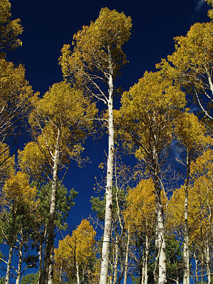 Photograph - Aspens Against Blue Sky by Joshua House