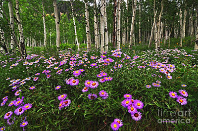 Aspens And Asters Art Print
