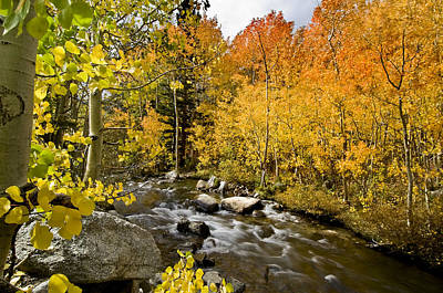 Aspens At Bishop Creek Art Print