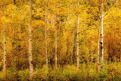 Photograph - Aspens In Autumn by Dakota Light Photography By Dakota