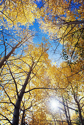 Photograph - Aspens In Autumn by Dennis Flaherty