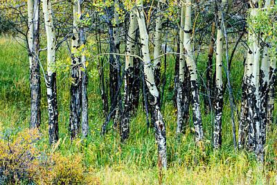 Photograph - Aspens In Colorado by Ben Graham