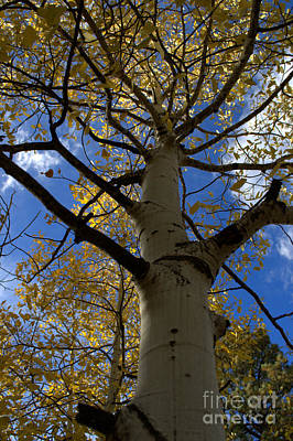 Photograph - Aspens In Fall  by Anjanette Douglas