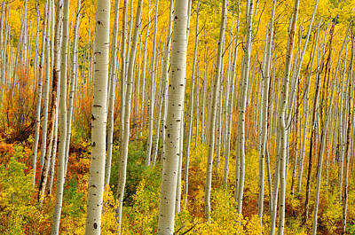Aspens In The Colorado Rockies Art Print