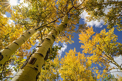 Aspens In The Fall Art Print
