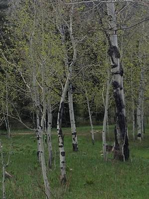 Aspens In The Spring Art Print by Shawn Hughes