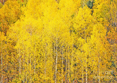 Photograph - Aspens by Mary Carol Story