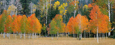 Aspens And Meadow-pan Art Print