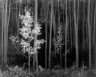 Mexico Digital Art - Aspens Northern New Mexico by Ansel Adams