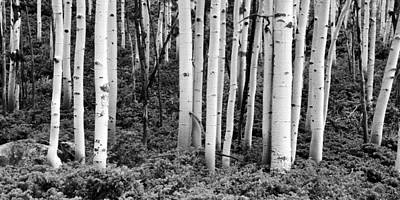 Photograph - Aspens Of Monarch Pass by Ken Smith