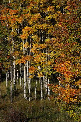 Photograph - Aspens On Bobcat Pass by Ron Weathers