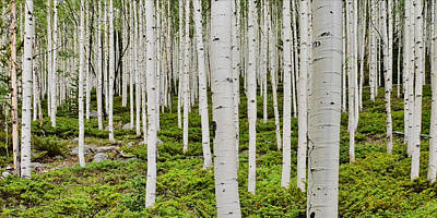 Photograph - Aspens On Monarch Pass by Ken Smith