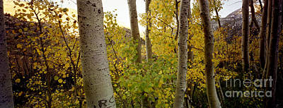 Photograph - Aspens by Ron Smith