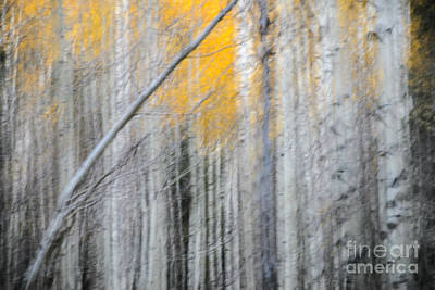 Photograph - Aspens by Tamara Becker