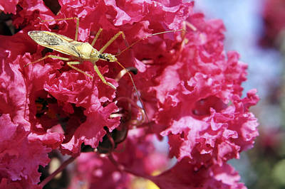 Photograph - Assassin Bug by Jason Politte