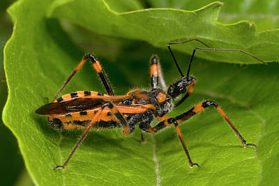 Assassin Bugs Photograph - Assassin Bug by Nigel Downer