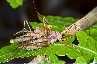 Ecuadorean Fauna Photograph - Assassin Bugs Mating, Ecuador by Science Photo Library