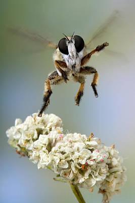 Eriogonum Photograph - Assassin Fly Leaving Buckwheat  by Robert Jensen
