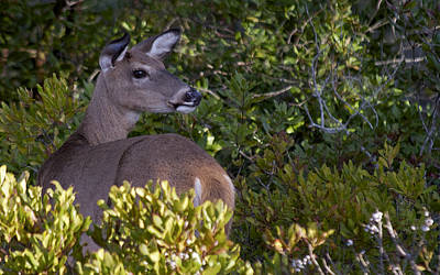 Photograph - Asseteague Island Doe1  by Greg Vizzi