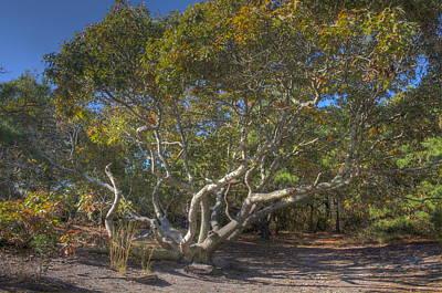 Photograph - Asseteague Island Oak by Greg Vizzi