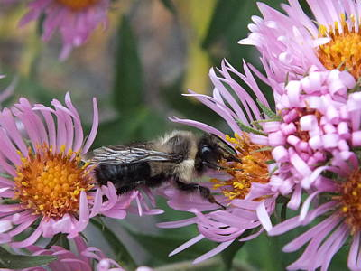 Photograph - Aster And Bee by Gene Cyr