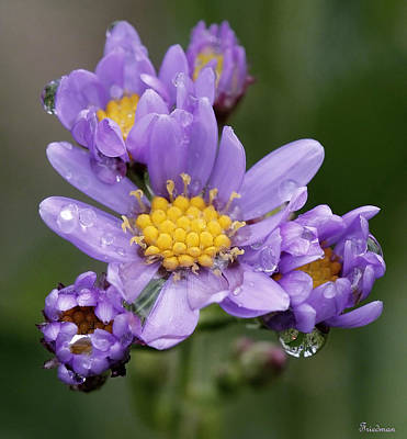 Photograph - Aster Drops by Michael Friedman