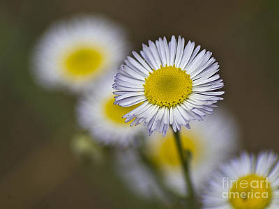 Floral Photograph - Aster by Fred Ziegler