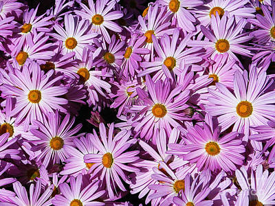 Photograph - Aster Novi-belgii by Paul Mashburn