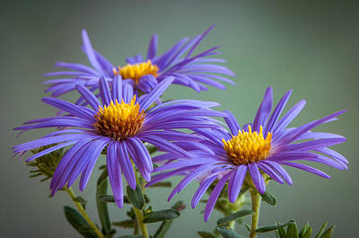 Aster Photograph - Aster by Randy Walton