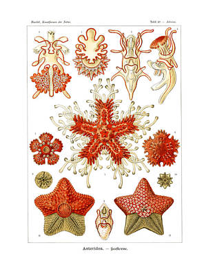Art In Nature Drawing - Asteridea by Ernst Haeckel