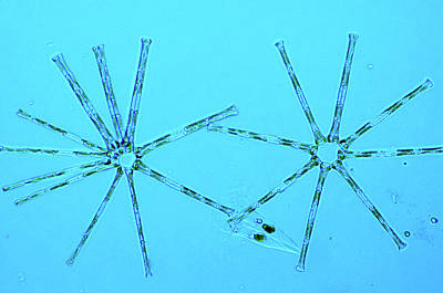 Unicellular Photograph - Asterionella Diatoms by Marek Mis