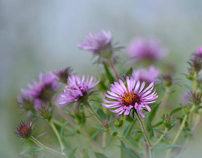 Photograph - Asters by Ann Bridges