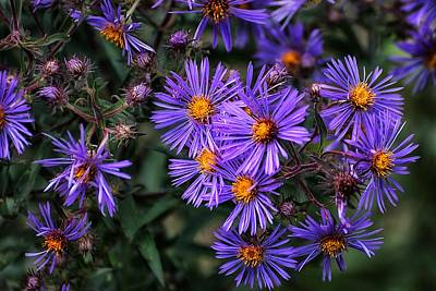 Photograph - Asters In Autumn by Beth Akerman