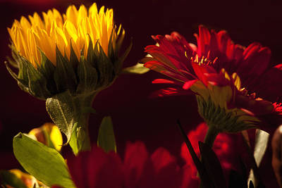 Aster Photograph - Asters In The Light by Andrew Soundarajan