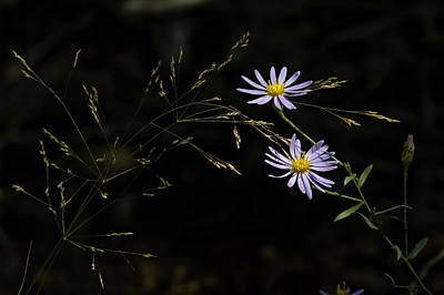 Photograph - Asters In Woodland Light by Michael Dougherty
