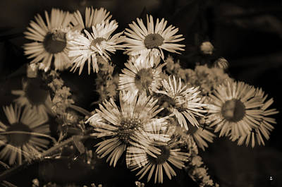 Photograph - Asters by Minartesia