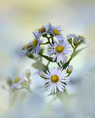 Photograph - Asters On Blue by Ann Bridges