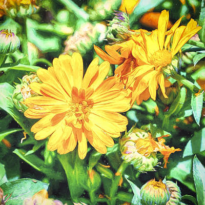 Photograph - Astoria Daisies by Don Vine
