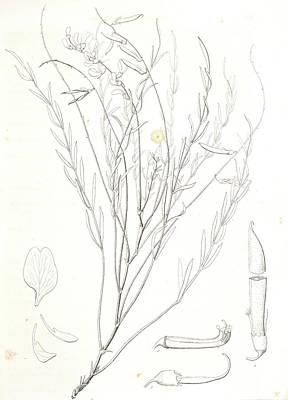 Stamen Drawing - Astragalus Homalobus Serotinus, 1. Vexillum , Wing by Artokoloro
