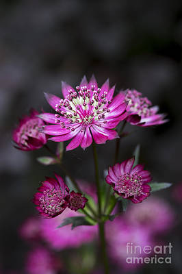 Astrantia Hadspen Blood Flower Art Print